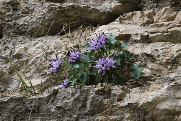 natural pain relief for dogs: a devil's claw plant on rocks