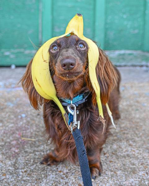 can dogs eat bananas: Dog wearing a collar and has a banana peel on top of its head