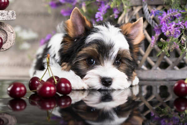 Puppy on a mirrored surface surrounded by cherries and flowers