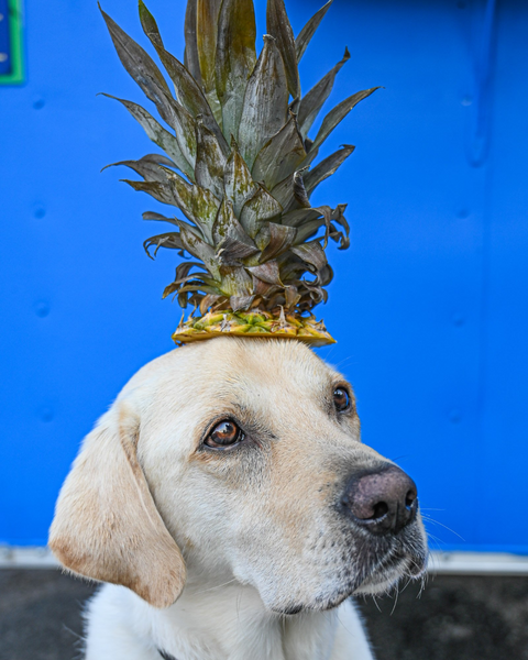 can dogs eat pineapple: Dog with the top of a pineapple on his head