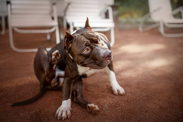 dog losing hair: pitbull about to scratch his ears