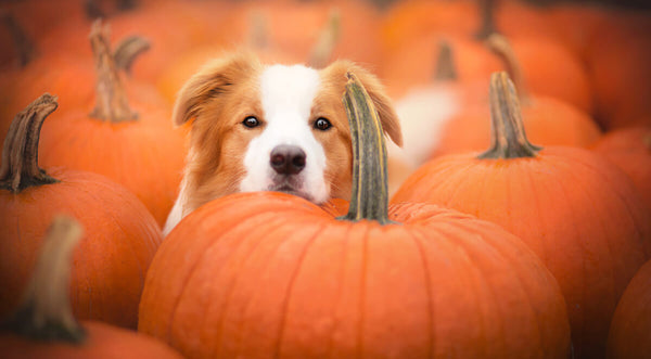 Dog food for sensitive stomach: dog in the middle of pumpkins