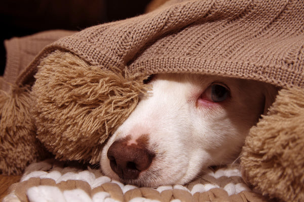 Calming treats for dogs: scared dog hiding under a blanket