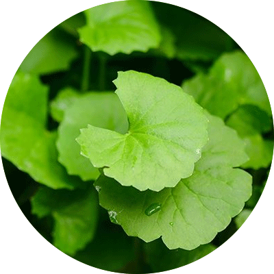 green gotu kola leaves