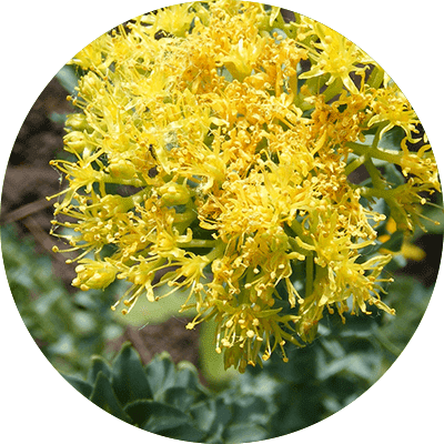 rhodiola yellow flower