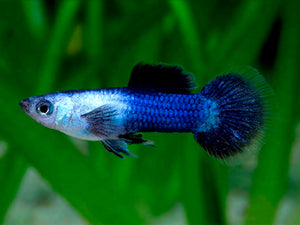 Dwarf Blue Panda Guppy Pairs (Male and Female)