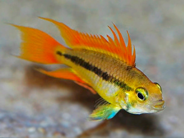 Apistogramma Cacatuoides Orange Flash