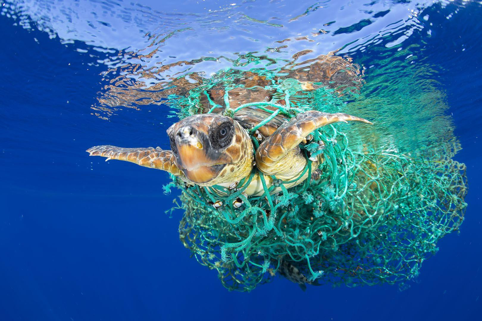 tide and seek turtle stuck in plastic fishing net