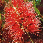 "Callistemon ""Captain Cook"""