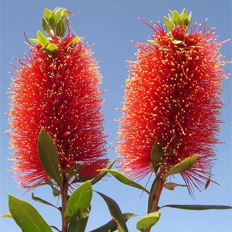 "Callistemon ""Emerald Beauty"""