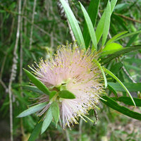 "Callistemon ""The Bluff"""