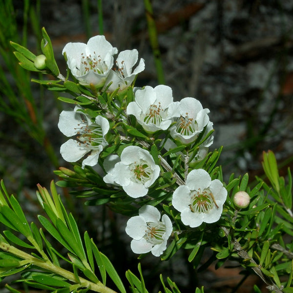 "Leptospermum polygalifolium ""Jelly Bush"""