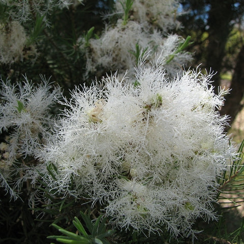 "Melaleuca alternifolia ""Tea Tree"""