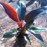 "Philodendron ""Imperial Red"""