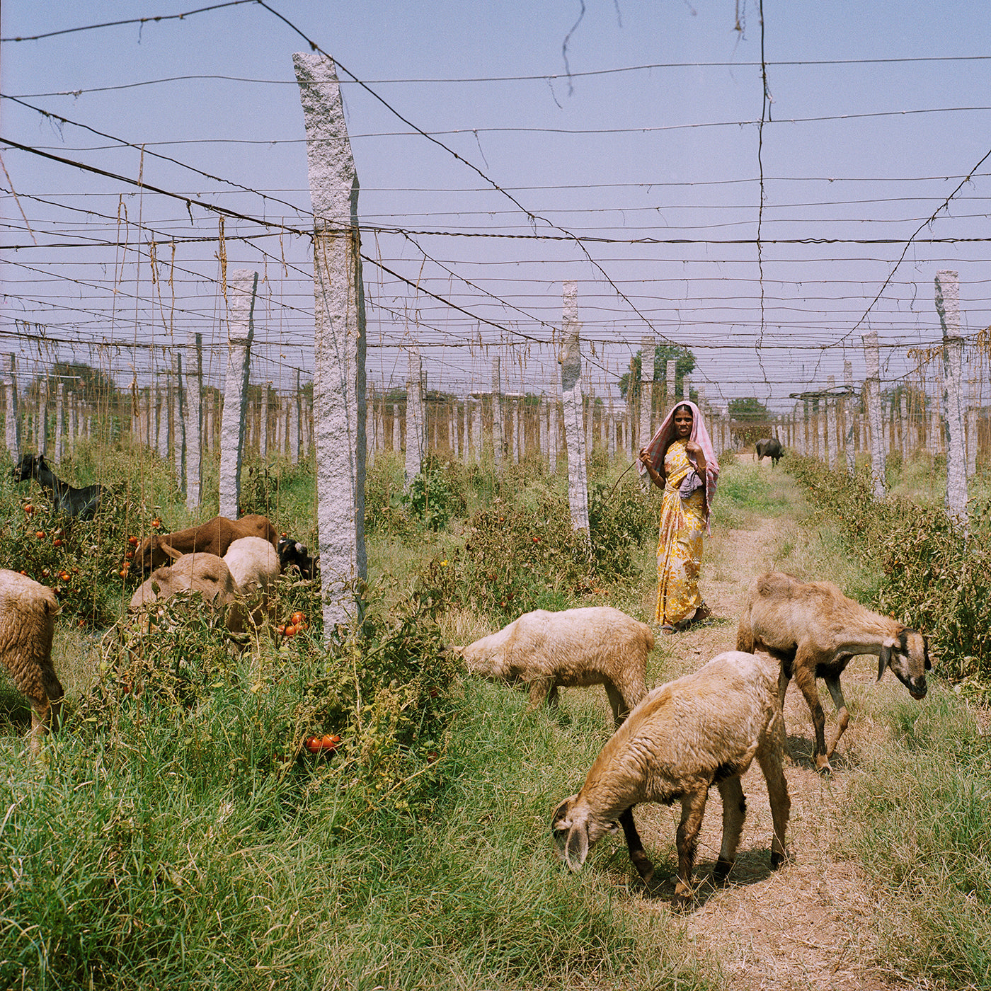 India's Greenhouse Revolution. Photo: Sara Hylton