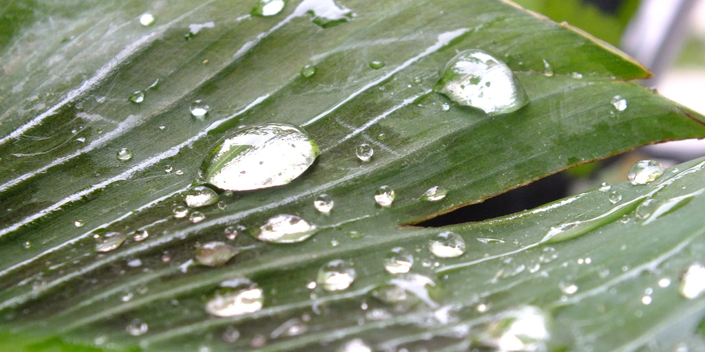 Banana leaf with rain drops, Berlin, Germany