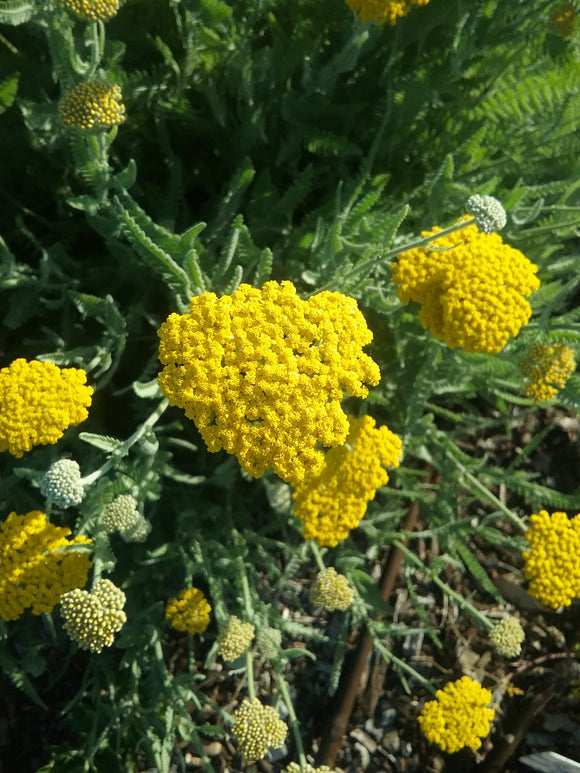 Achillea Cloth of Gold - Summer flowering perennial plant