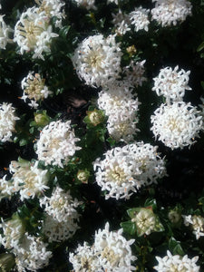 Pimelea ferruginea alba flower