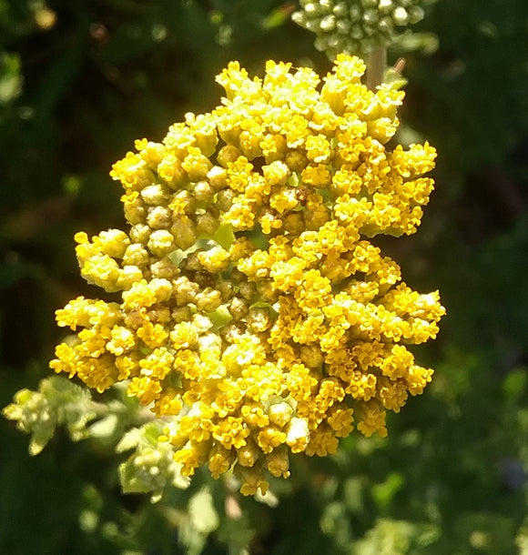 Achillea ageratum -drought and frost hardy perennial plant