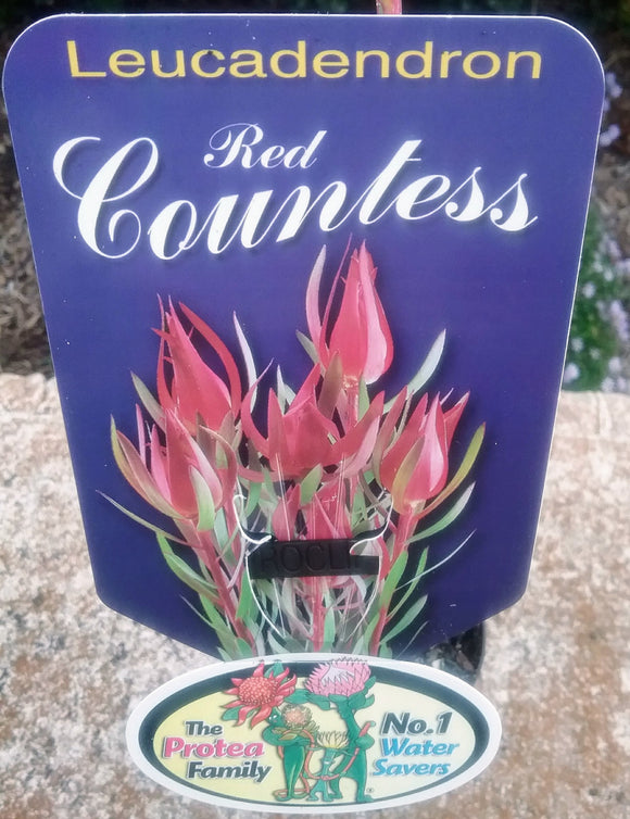 Leucadendron Red Countess - Red bracts peaking in winter