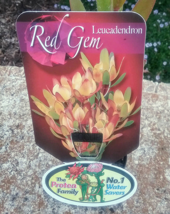 Leucadendron Red Gem - multi coloured bracts