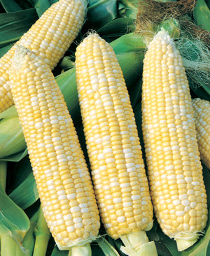 Halifax Seeds Honey & Cream Corn, 125g