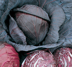 Halifax Seed - Cabbage - Red Acre