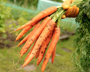 Halifax Seed - Carrot - Imperator Long