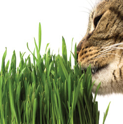 Halifax Seed - Cat's Grass