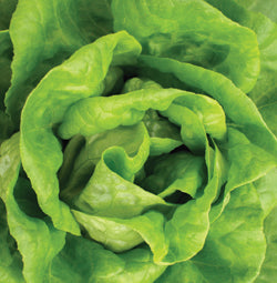 Halifax Seed - Lettuce - Buttercrunch