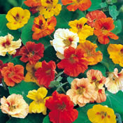 Halifax Seed - Nasturtium - Jewel Double Dwarf Mixture
