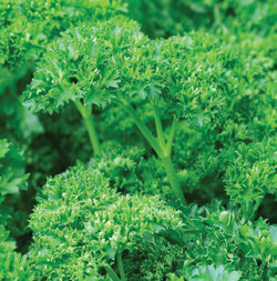 Halifax Seed - Parsley (Moss Curled)