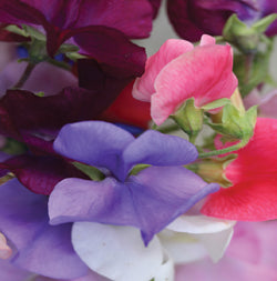 Halifax Seed - Sweet Pea - Cuthbertson Mixture
