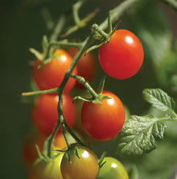 Halifax Seed - Tomato - Red Cherry