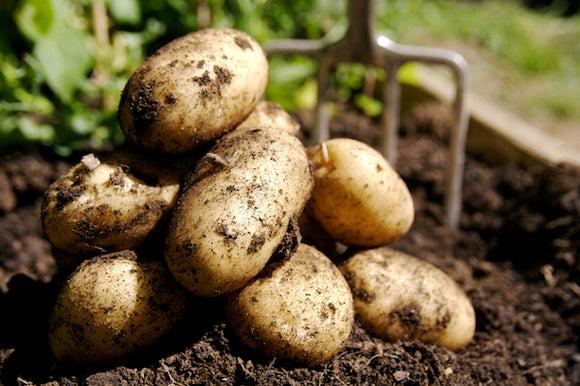 Halifax Seed - Seed Potato - Kennebec - 10lb