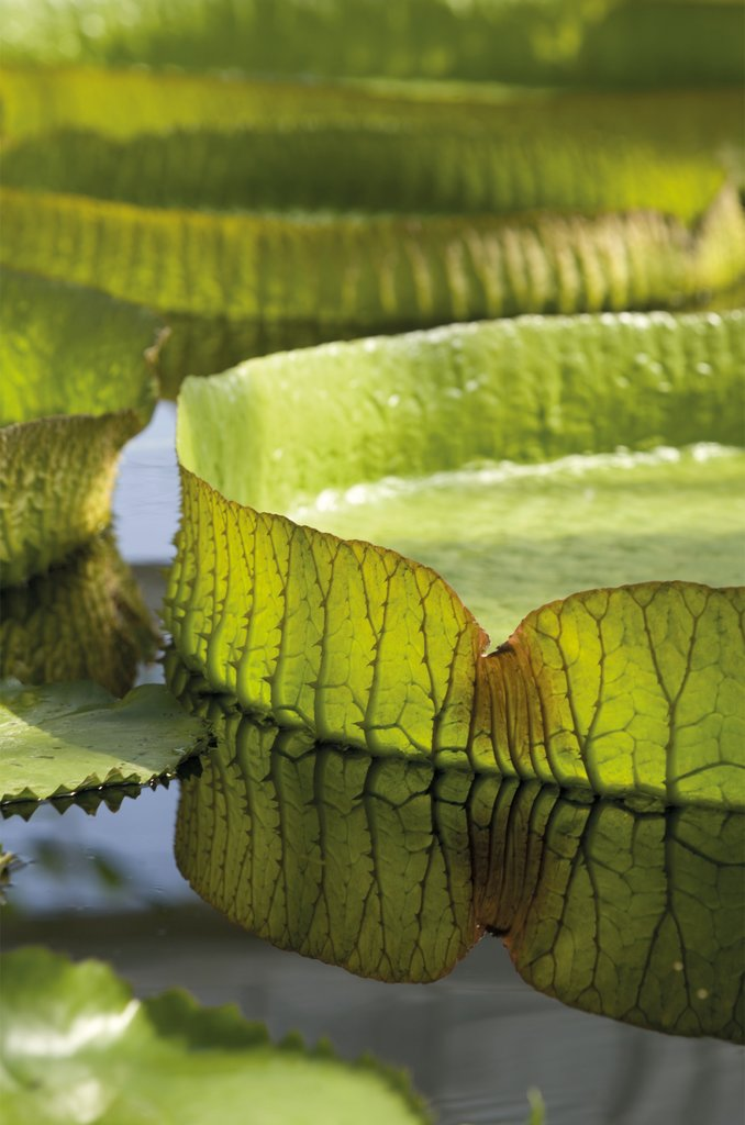 Detail of Victoria amazonica. Giant Amazonian Waterlily by Andrew McRobb