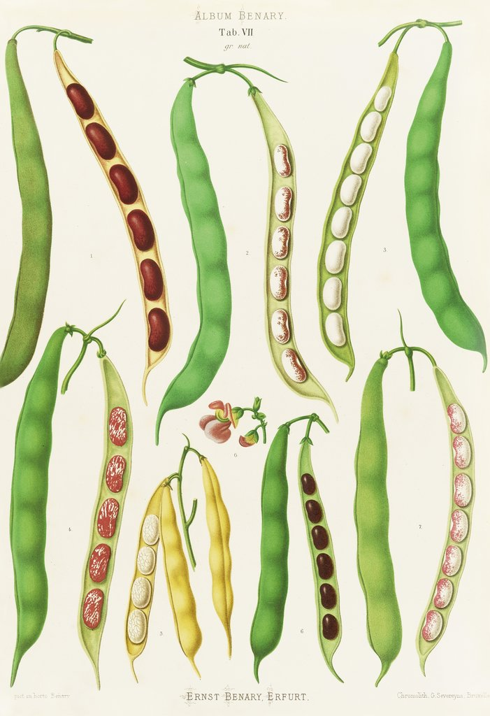 Detail of Beans - Dwarf French, Kidney or Snap by Ernst Benary