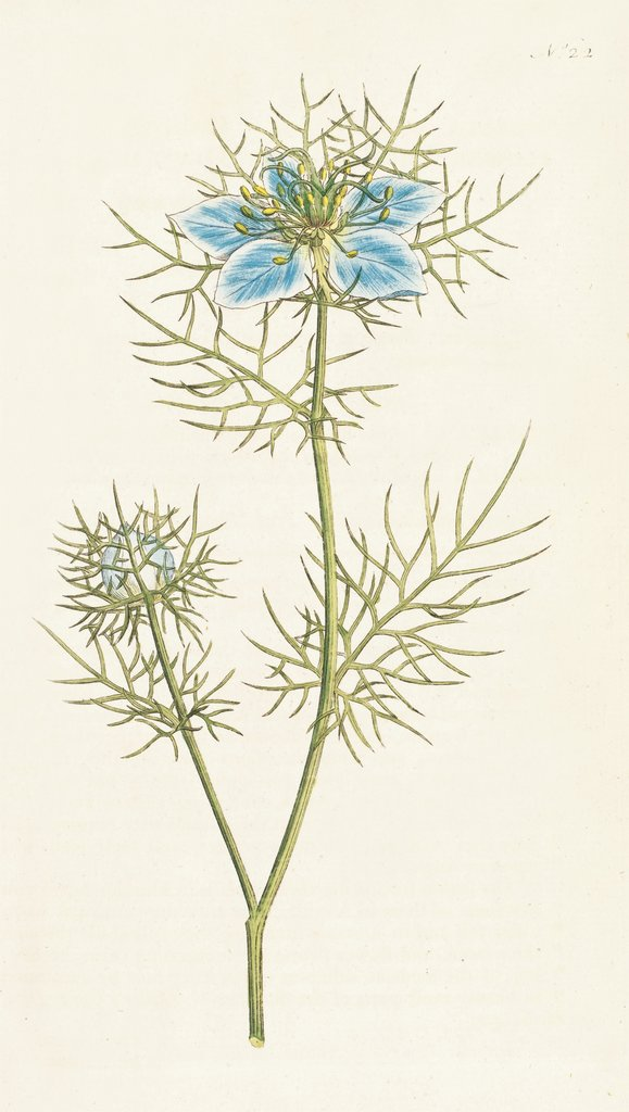 Detail of Nigella damascena. Garden Fennel-flower by Sydenham Teast Edwards