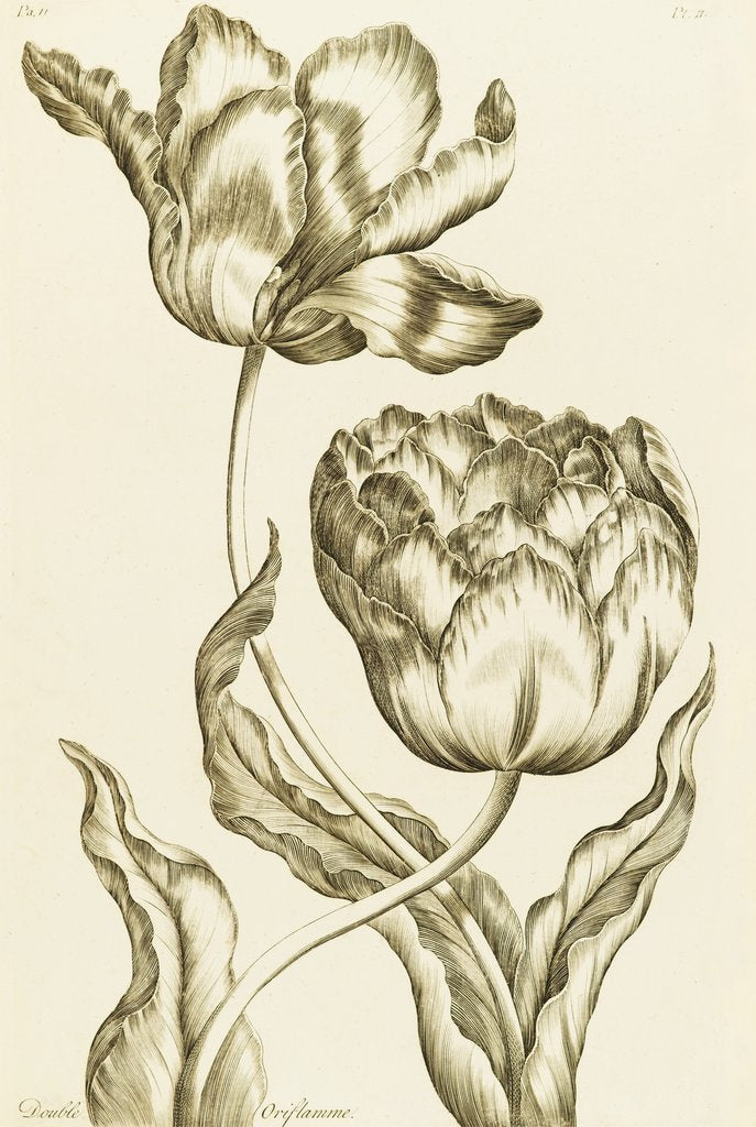Detail of Double Oriflamme - Tulipa Gesneriana Multiplex by John Hill