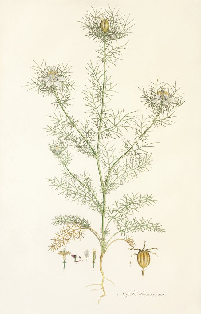 Nigella damascena. Love in a Mist by John Sibthorp