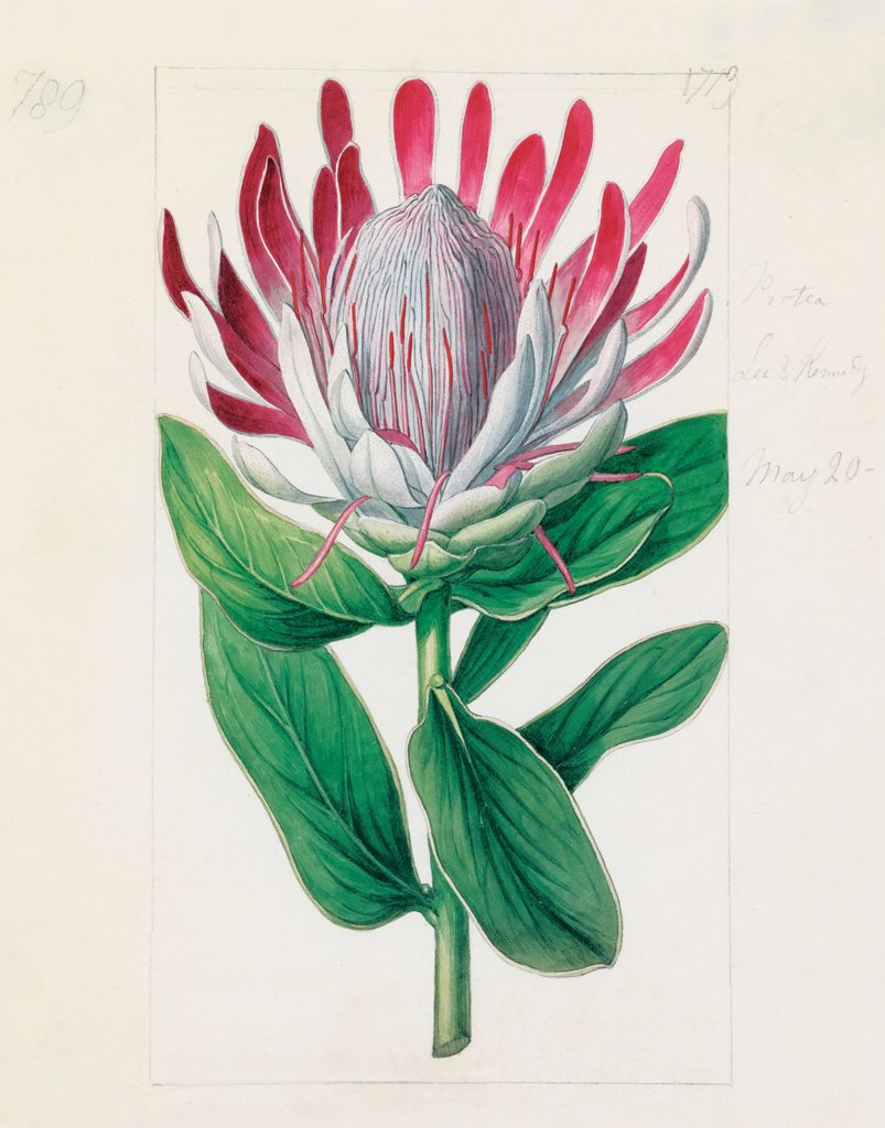 Detail of Protea formosa. Crown-Flowered Protea by Sydenham Teast Edwards