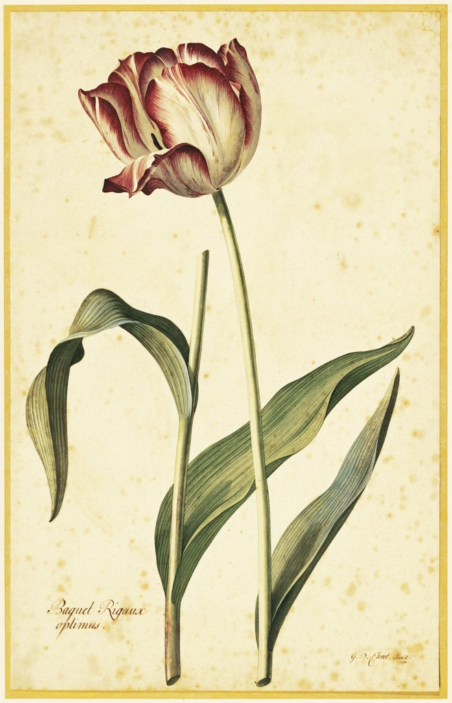 Detail of Tulip by Georg Dionysius Ehret