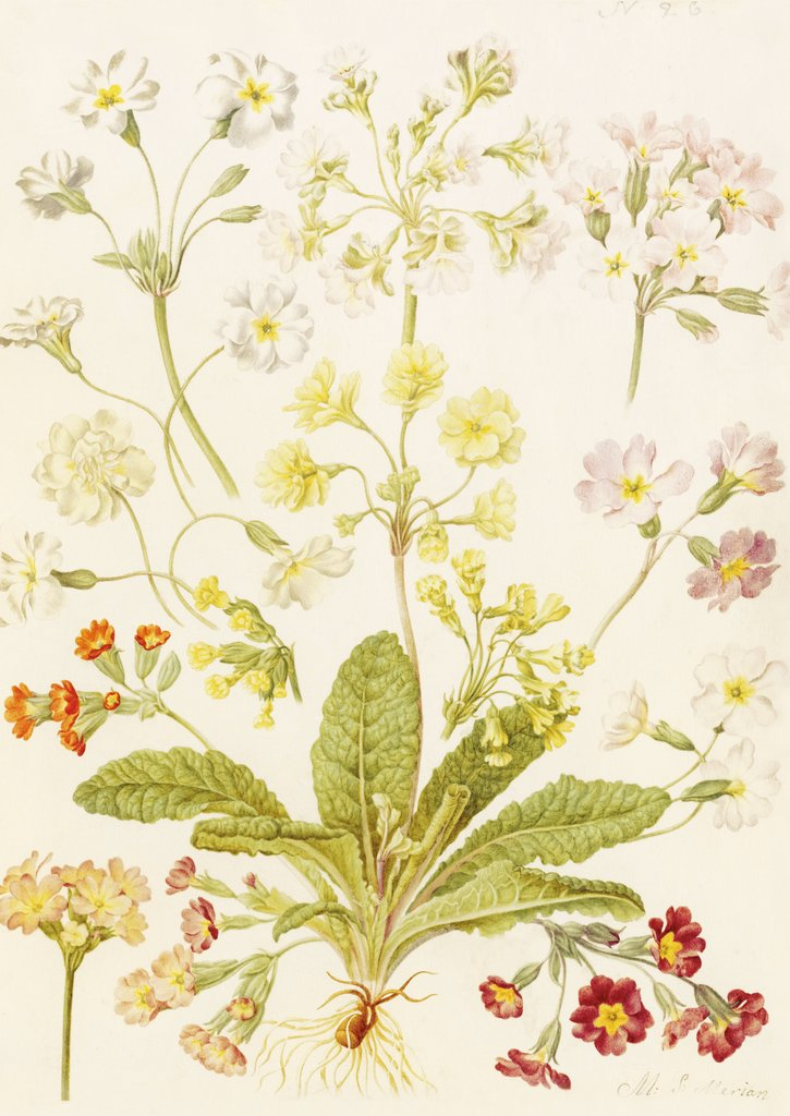 Detail of Polyanthus and Primroses by Maria Sibylla Merian