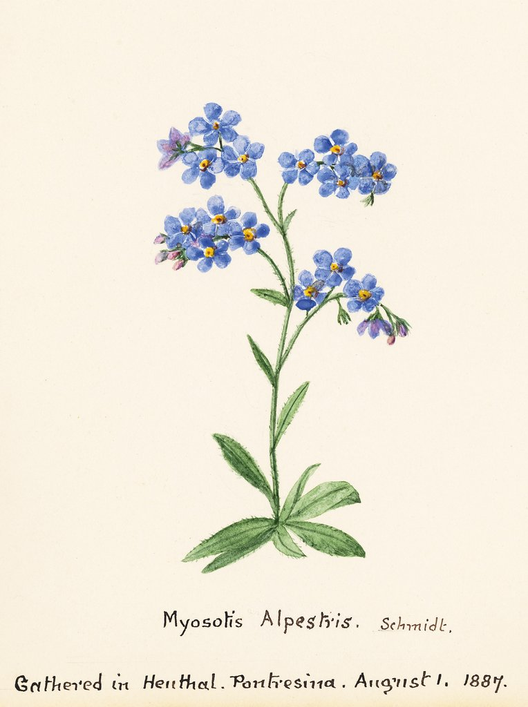 Detail of Myosotis alpestris. F.W. Schmidt. Forget Me Not by Sidney Eliza Forster