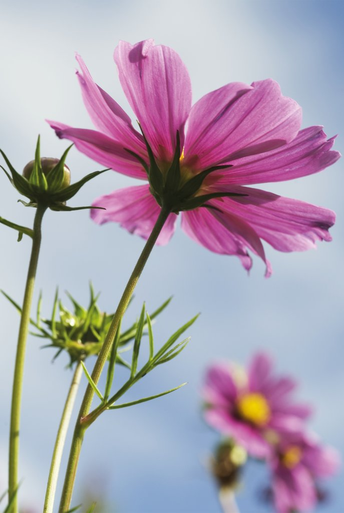Detail of Cosmos bipinnatus. Mexican Aster by Andrew McRobb