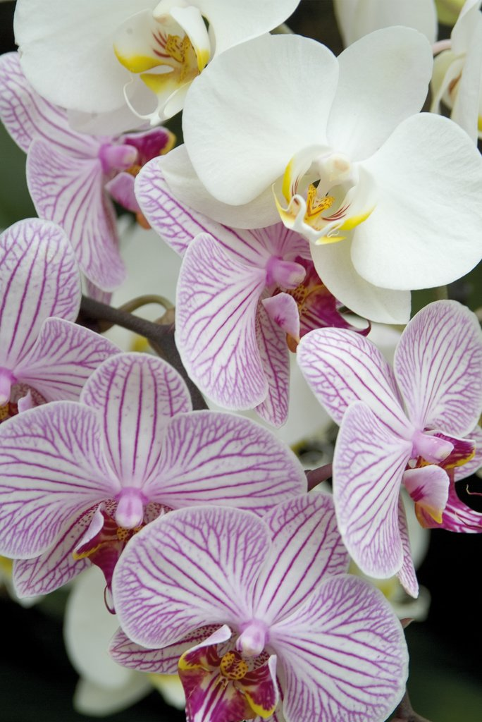Detail of Orchid Festival - Phalaenopsis Hybrids by Andrew McRobb