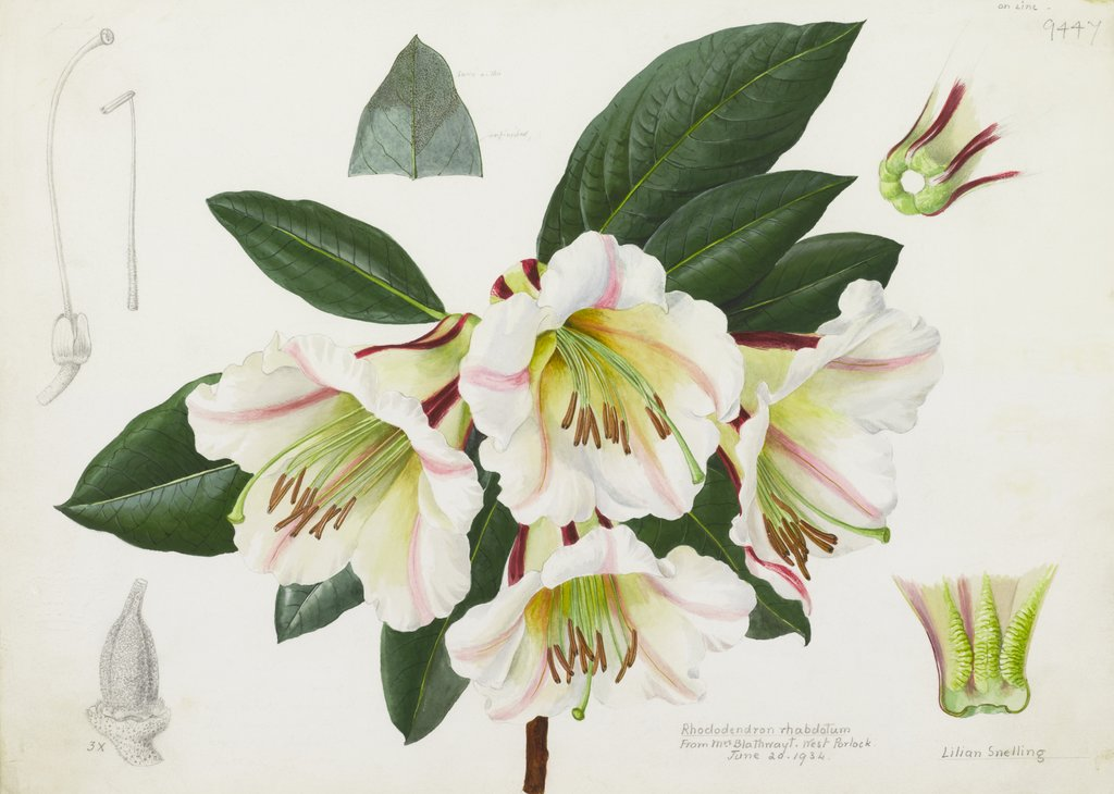 Detail of Rhododendron rhabdutum by Lillian Snelling