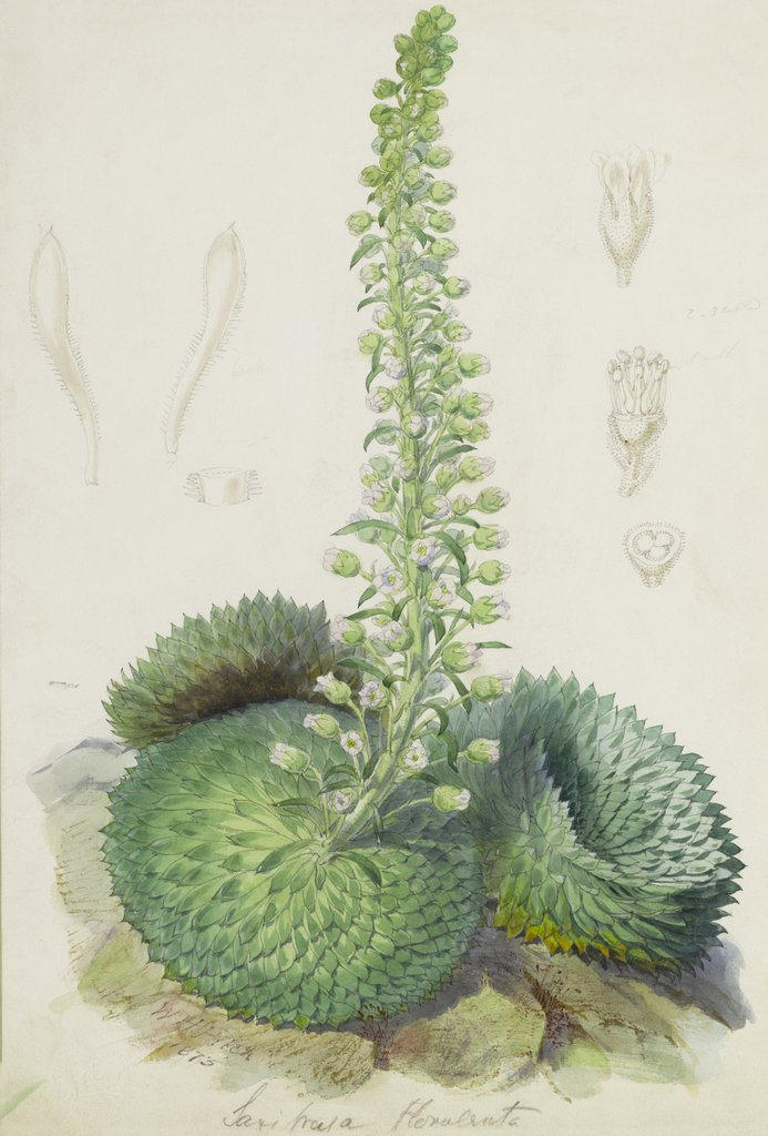 Detail of Saxifraga florulenta by Walter Hood Fitch