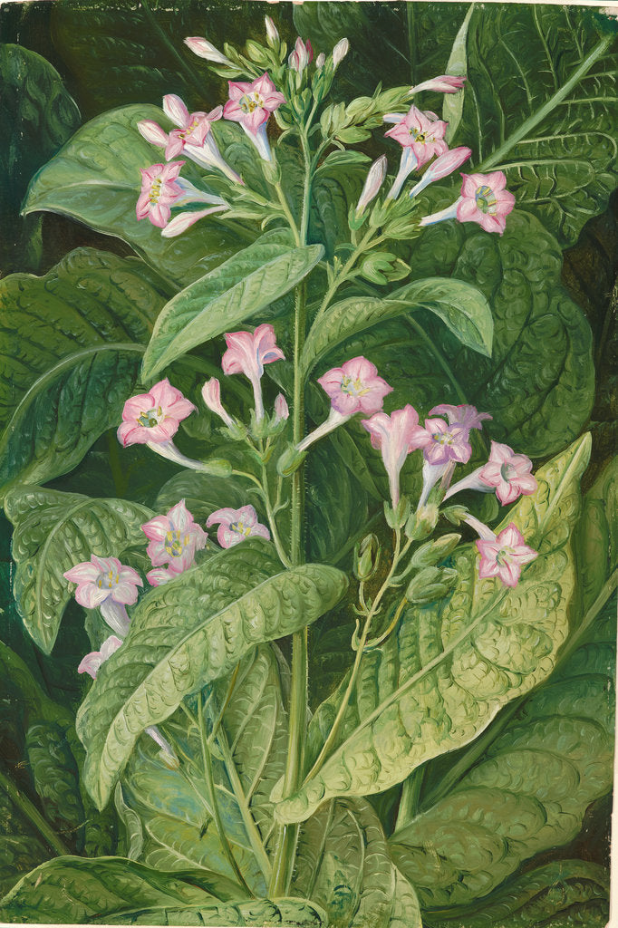 Detail of 2. Common tobacco, 1870 by Marianne North