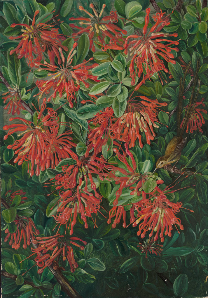 Detail of 3. Burning bush and emu wren of Chili, 1885 by Marianne North